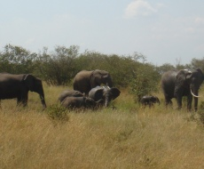 Family of elephants in the Mara