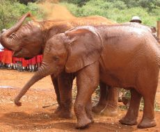 Elephant Sheldrick Orphans