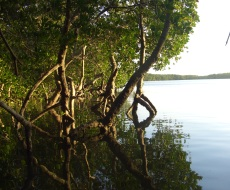 Mangroves of Mida Creek