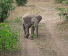 Young Elephant in Mara