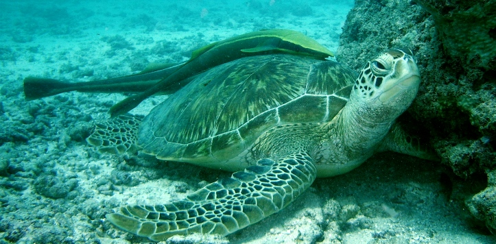 Green Turtle in Watamu Marine Park