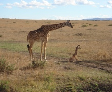 Female giraffe and baby