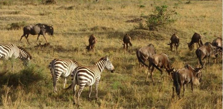 Zebras and Wildebeest mingle in the Masai Mara